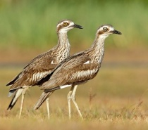 Resident Stone Curlews - Bonnie & Clyde