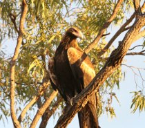 Wedge Tail Eagle - Wildlife you will see on tour
