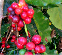 Coffee cherries grow on a bush. Learn how they are turned into coffee beans.
