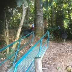 Cassowary encounter